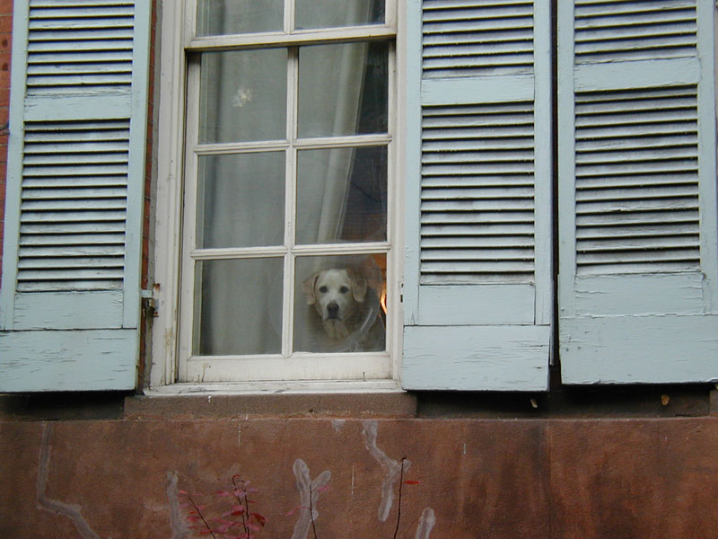 Dog with a cone looking sadly out a window - copyright Romy Ashby